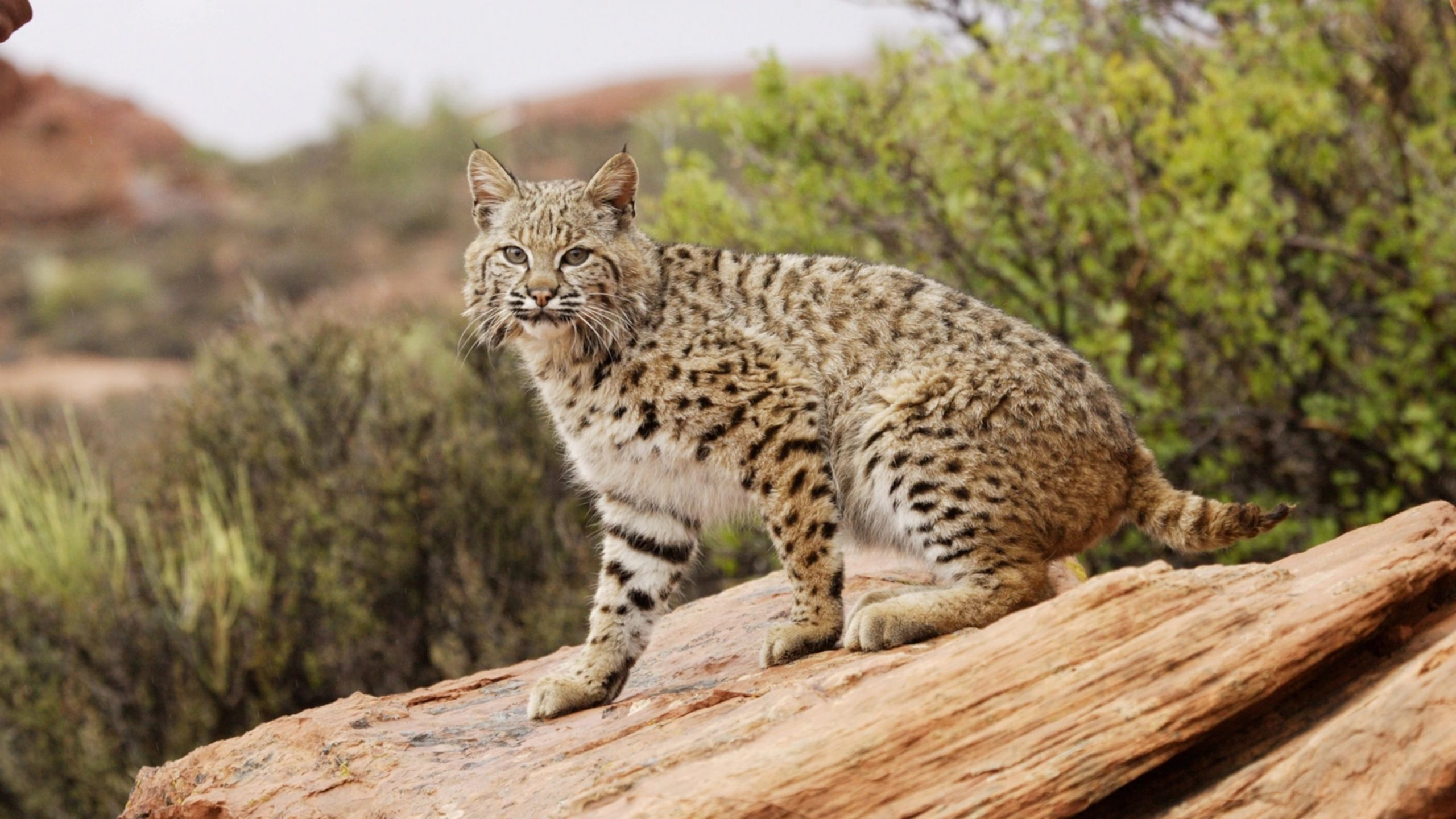 Man defends wife from Bobcat attack in viral video